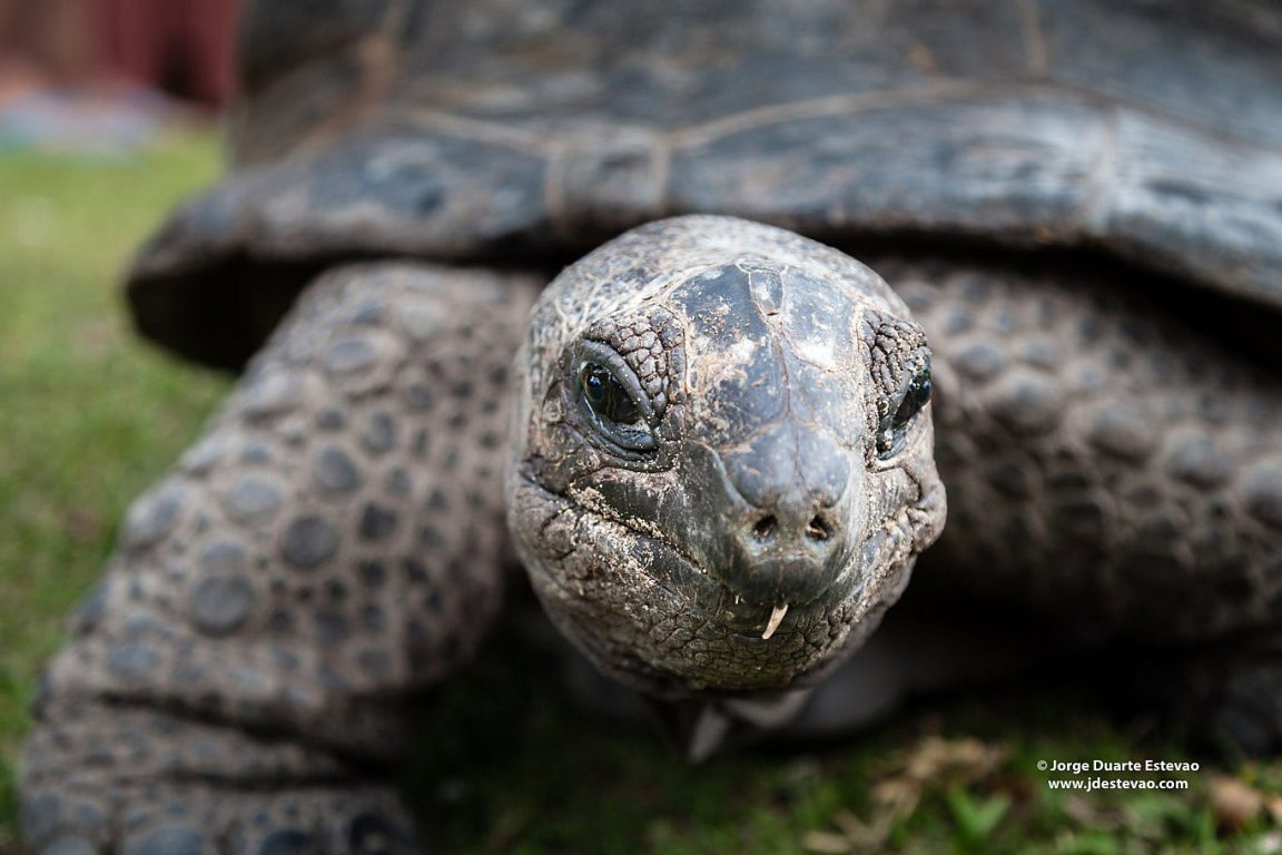 An Aldabra giant tortoise roaming around Curieuse Island in the Seychelles. There are around 500 specimens in this island first discovered by Portuguese sailors in the 1500