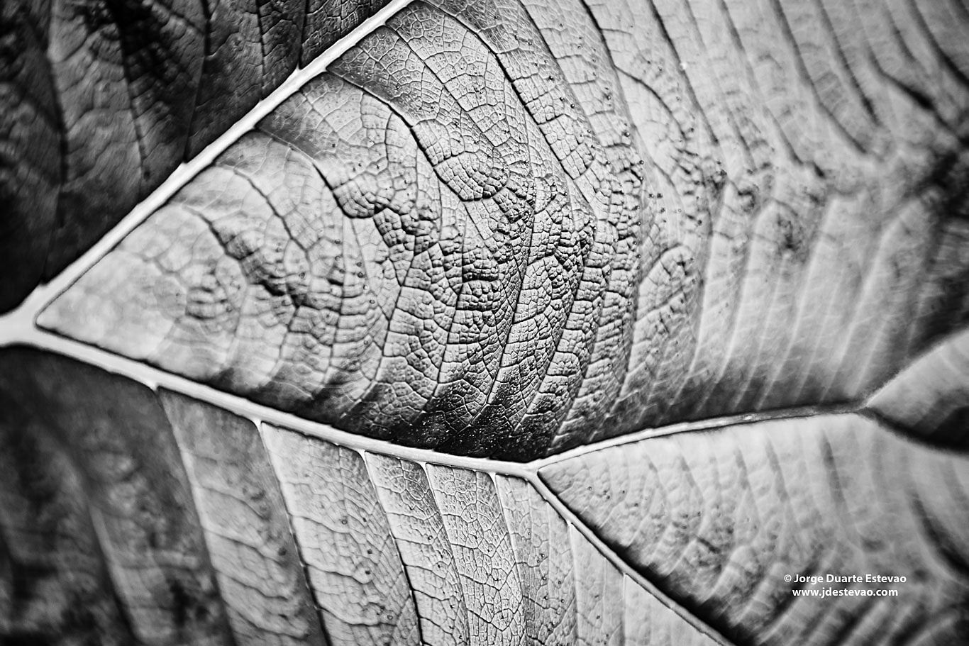 black white Gunnera leaf Poor Man's Umbrella Poás Volcano Costa rica