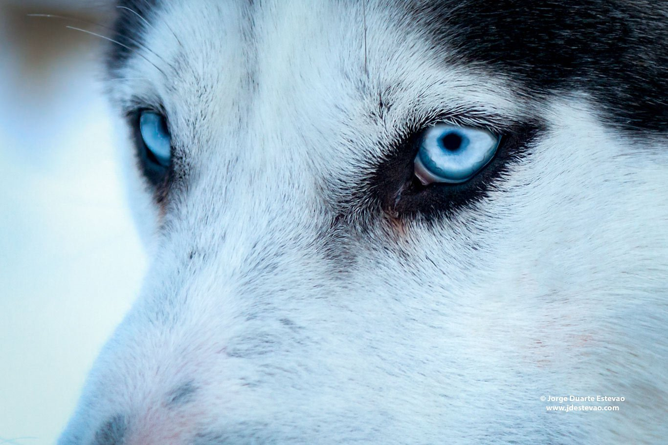 Blue eyed male siberian husky lapland Finland