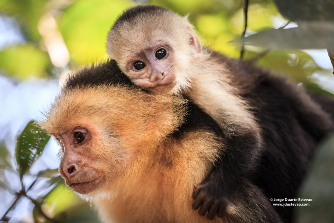 Capuchin Monkey, or white-faced monkeys, occupy the wet lowland forests on the Caribbean coast of Costa Rica, but are also found elsewhere from Colombia to Belize