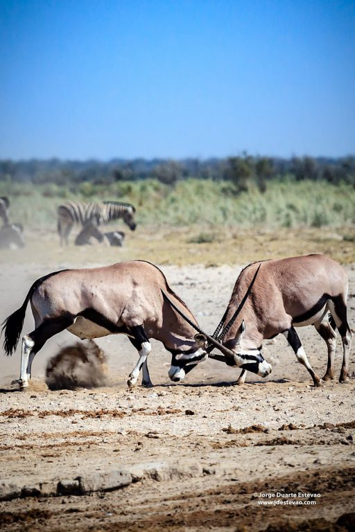 Two male gemsbok fight near a waterhole in Etosha National Park, Namibia. Gemsbok are antelopes native to arid regions of Southern Africa which can live up to 20 years