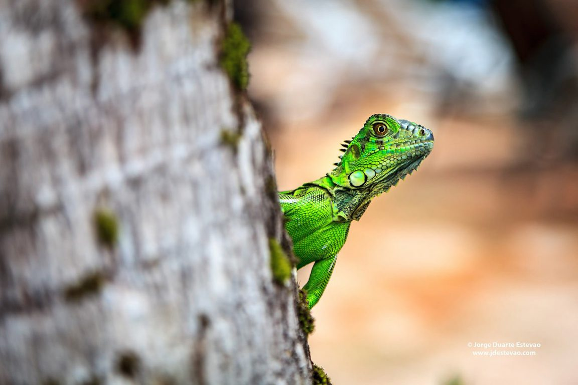 Female green basilisk lizard hanging from a tree in Tortuguero National Park, Costa Rica. These are commonly spotted in other tropical rain forests of Central America