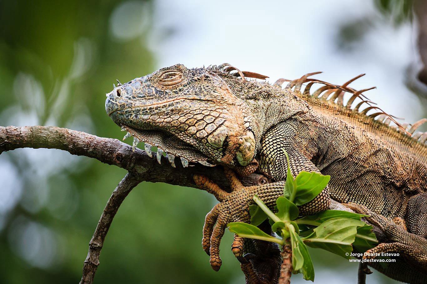 green iguana Tortuguero National Park Costa Rica resting on tree branch