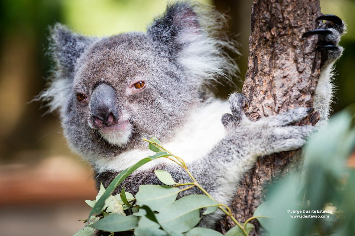 Less than 80,000 koalas remain in Australia. Habitat loss is the greatest threat to these marsupials Down Under