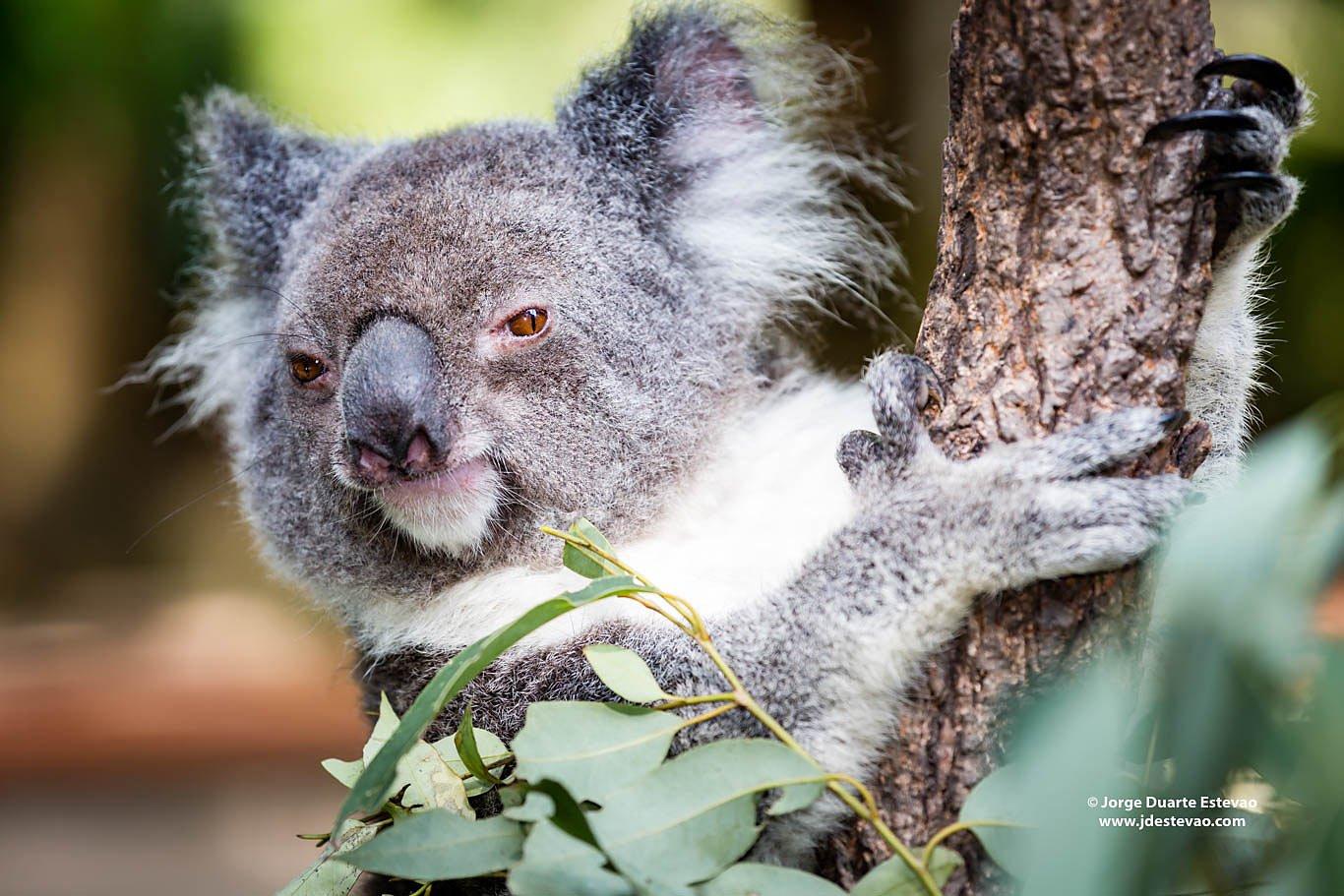 koala holding tree Australia