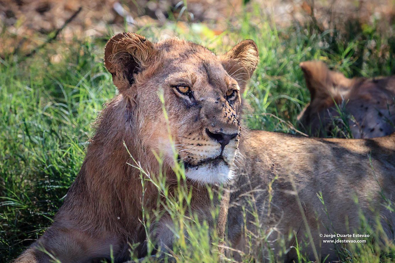 lion eyeing warthog Chobe National Park Botswana africa
