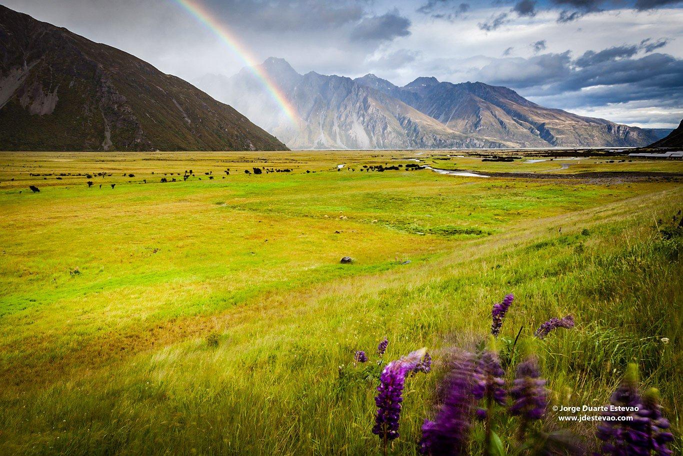rainbow lupins alpine scenery at Mount Cook Aoraki New Zealand
