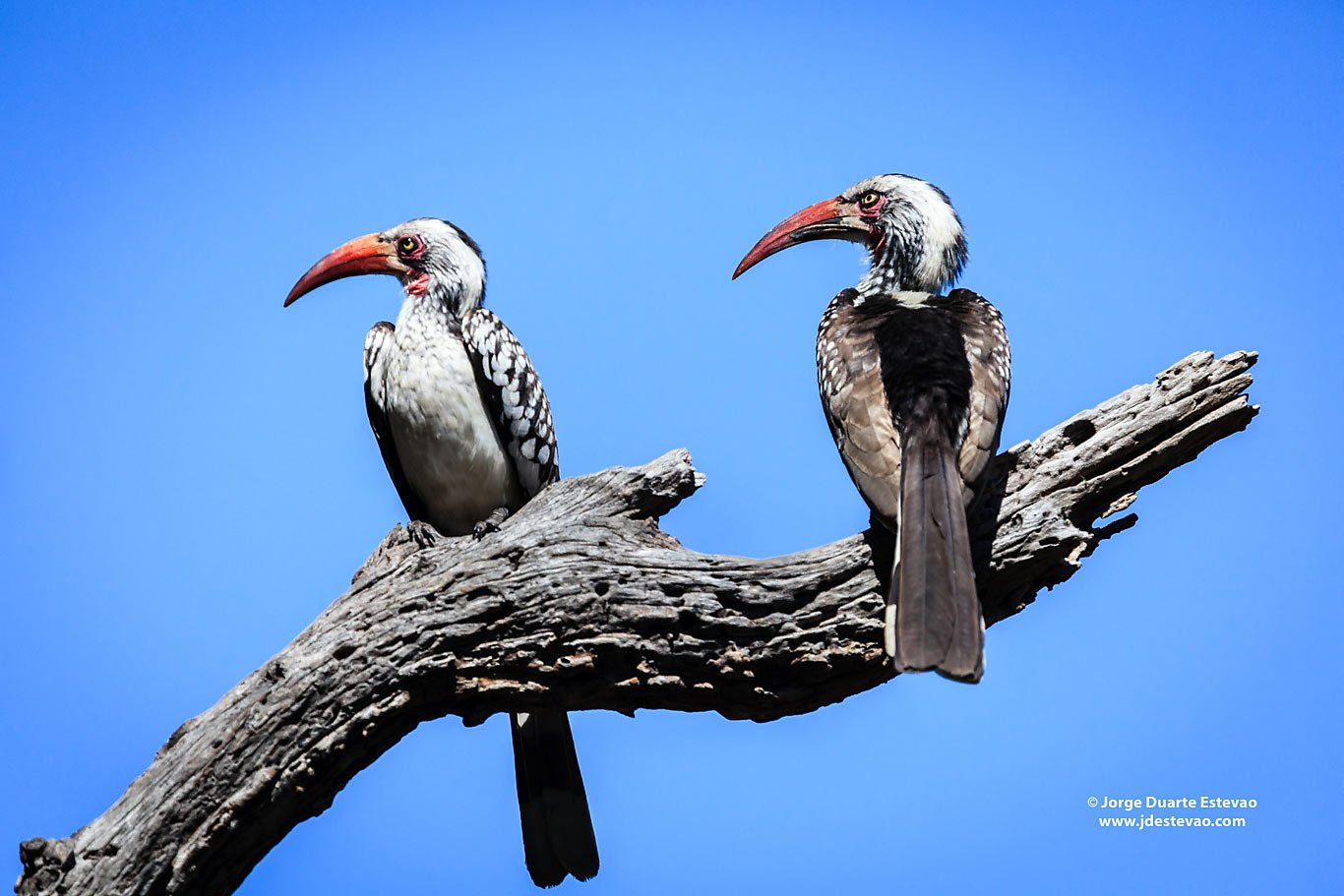 two Red-billed Hornbill birds Moremi game reserve Okavango Delta