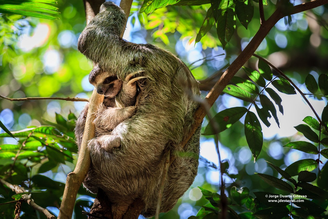 Two-Toed Sloth mother and cub hanging on a tree at Manuel António National Park, Costa Rica
