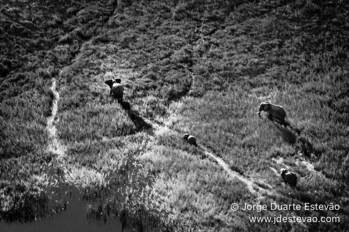 Elephants roaming free in the Okavango Delta, Botswana