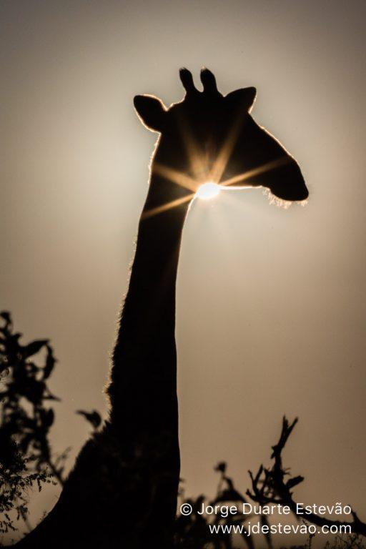 Giraffe in Etosha National Park, in Namibia, Africa.